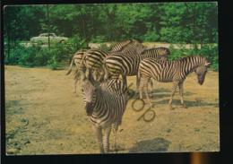 Arnhem - Burgers Safari - Zebra's - ZOO [AA47-3.424 - Pays-Bas