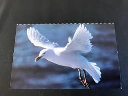 Planche Explicative N°11 - GOELAND BOURGMESTRE - J.L Klein / Pitch - Animales