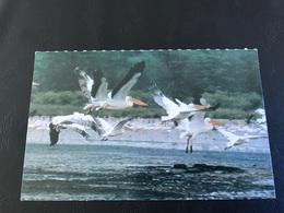 Planche Explicative N°40 - PELICAN BLANC - Montoya / Pitch - Animales