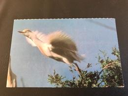 Planche Explicative N°23 -HERON GARDE BOEUF - Vienne Bel / Pitch - Animales