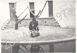 Gorille - Zoo D'Anvers 1973 - Orte