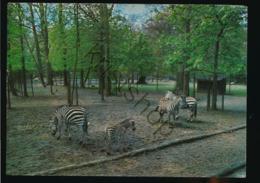 Wassenaar - Dierenpark - ZOO - Zebra's [AA47-3.566 - Pays-Bas