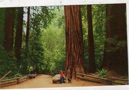 Séquoia Géant Séquoiadendron Giganteum Muir Woods National Monument Pinchot Memoria California Muir Wood Inn Mill Valley - Árboles