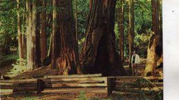 Séquoia Géant Séquoiadendron Giganteum Muir Woods National Monument Giant Redwoods California Muir Wood Inn Mill Valley - Árboles
