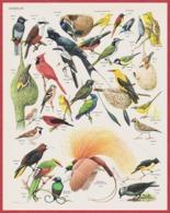 Oiseaux. Oiseau. Illustration Barruel. Document Recto-verso. Larousse 1960. - Historical Documents