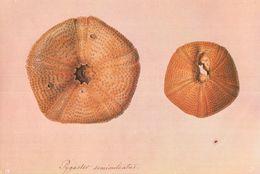 Fossil Sea Urchin Plesiechinus Ornatus Cheltenham Jurassic Postcard - Antiquité