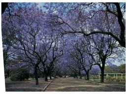(C 9) Australia  - NSW - Grafton Jacaranda Trees In Street - Australia