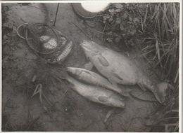 Carpes Et Chevaine - PHOTO 11,50/9 CM - Pesca