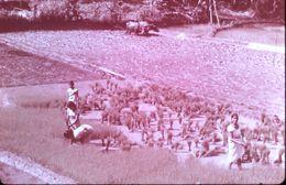 1968 DIAPOSITIVE Riziculture à CEYLAN - Diapositive