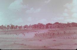 DIAPOSITIVE L'AFRIQUE DE L'ATLAS AU GOLF DE GUINEE L'AFRIQUE NOIRE Plantation De Rôniers - Diapositive