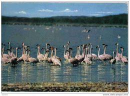 Carte Postale Afrique  Kenya  Flamands Roses  édit: Hoa-Qui N° 4569 Trés Beau Plan BT3 - Kenya