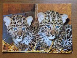 Dierenpark - Zoo / Zoologischer Garten Hannover, Junge Leoparden -> Unwritten - Tigres