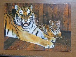 Dierenpark - Zoo / Zoo Leipzig, Sibirischer Tiger Mit Jungen -> Unwritten - Tigres