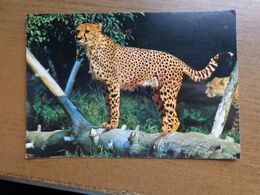 Dierenpark - Zoo / Zoo Wilhelma - Stuttgart-Bad Cannstatt, Gepard -> Unwritten - Tigres