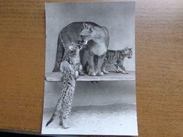 Dierenpark - Zoo / Tierpark Eberswalde-Finow, Puma Mit Jungtieren -> Unwritten - Tigres