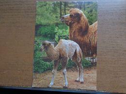 Dierenpark - Zoo / Tierpark Görlitz, Trampeltier Mit Jungen (dromedaris) -> Unwritten - Animaux & Faune