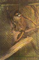 ANIMALS, MONKEYS, MOUSTACHED GUENON - Singes