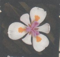 Dietes Grandiflora 10 Graines - 2. Seeds