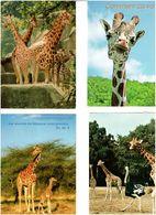 GIRAFES /  Lot De 45 Cartes Postales Modernes écrites - Cartes Postales
