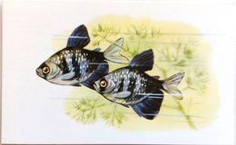 #864  Black Skirt Tetra - Aquarium FISH, Animals - Postcard 1968 - Poissons Et Crustacés