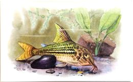 #864  Peppered Cory, Corydoras Paleatus - Aquarium FISH, Animals - Postcard 1968 - Poissons Et Crustacés