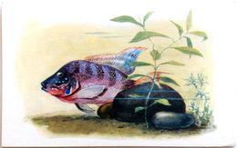 #864  Cichlasoma Meeki - Aquarium FISH, Animals - Postcard 1968 - Poissons Et Crustacés