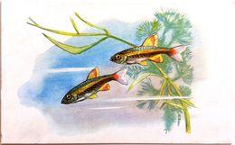 #865   Kardinalfisch (Tanichthys Albonubes) - Aquarium FISH, Animals - Postcard 1968 - Poissons Et Crustacés