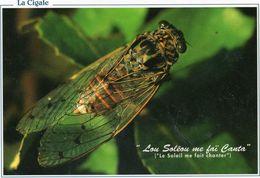 LA CIGALE DE PROVENCE - Insectes