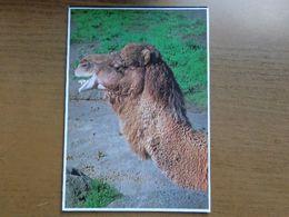 Dierenpark - Zoo / Kameel, Camel, Chameau / Washington Park Zoo, Portland - Oregon -> Onbeschreven - Animals