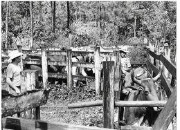 Photo Guatemala .Désinfection Du Bétail Dans Un Ranch Du Petén..Ph. Vivant Univers 2000 . - Lugares