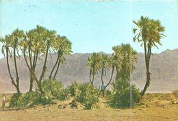(ARAVA PLAIN )( ISRAEL ) A GROUP OF SUDAN PALMS TROPICAL TREES - Israel