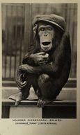 Emmen (Dr.) Noorder Dierenpark (Zoo) Chimpansee Tommy 1941 - Emmen