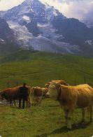 Espagne - Animaux - Bovins Vache Taureaux Boeufs - Carniceria Rufus Benidorm  Alicante - 1996 - Kalender