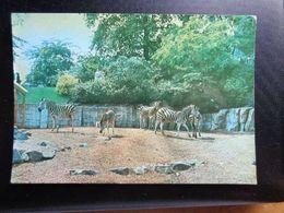 Dierenpark - Zoo / Zoo Van Antwerpen, Chapman Zebra -> Written - Zebras