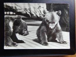 Dierenpark - Zoo / Zoo Van Antwerpen, Jonge Bruine Beren -> Written, Damaged - Bears