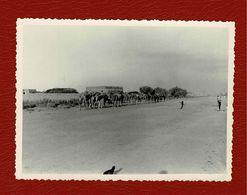 Photo Original De Touareg Menant Des Dromadaires - Afrique
