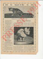 Exposition Féline De 1930 Paris Chat Nu Atrichose Chats Maracaja Chat-Tigre Du Brésil Marguay ? Oncille ? 231CH1 - Zonder Classificatie