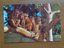 Dierenpark - Zoo / Zoo Van Antwerpen  --> Beschreven - Monkeys
