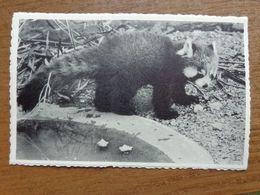 Dierenpark - Zoo / Zoo Van Antwerpen - Kleine Panda --> Onbeschreven - Bears