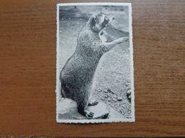 Dierenpark - Zoo / Zoo Van Antwerpen - Wasbeer --> Onbeschreven - Bears