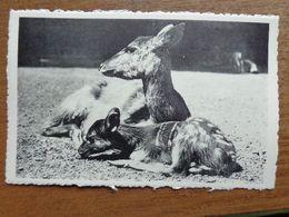 Dierenpark - Zoo / Zoo Van Antwerpen - Moeras Of Langhoefantiloop, Wijfje Met Kalf --> Onbeschreven - Animals