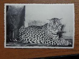 Dierenpark - Zoo / Zoo Van Antwerpen - Jaguar --> Onbeschreven - Animals