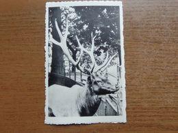 Dierenpark - Zoo / Zoo Van Antwerpen - Wapiti --> Onbeschreven - Animals