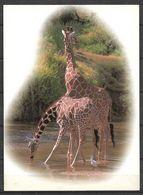KENYA POSTCARD , VIEW CARD GIRAFFE - Kenia