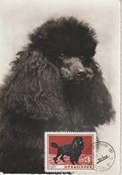 Bulgarie Carte Maximum Chien 1964 Caniche 1264 - Briefe U. Dokumente