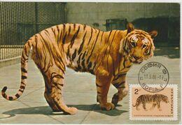 Bulgarie Carte Maximum 1966 Tigre 1417 - Briefe U. Dokumente
