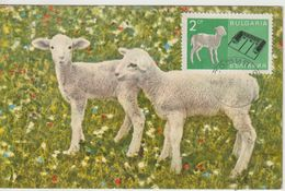 Bulgarie Carte Maximum 1967 Agneaux 1519 - Briefe U. Dokumente
