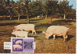 Bulgarie Carte Maximum 1967 Cochons 1521 - Briefe U. Dokumente