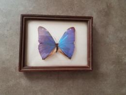 Papillon Du Brésil Naturalisé - Other