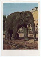 USSR POSTCARD 1964 MOSCOW ZOO INDIAN ELEPHANT Fauna - Rusia